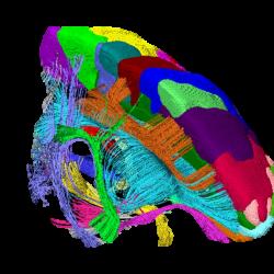 MRIによるマーモセット脳の研究