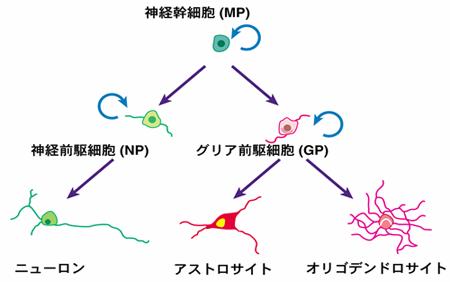 神経幹細胞の分化